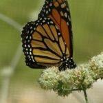 Monarch sipping buckwheat nectar