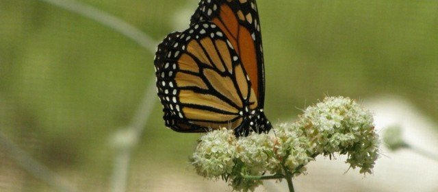 Attracting Butterflies to Your Yard