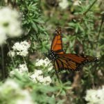 Monarch on buckwheat - great nectar source