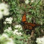 Monarch on buckwheat - great nectar source