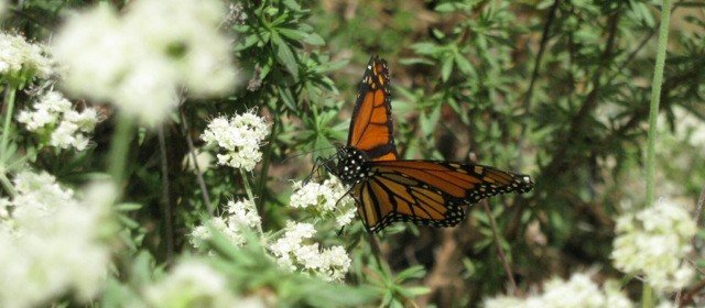 Butterflies (So CA focus) and How to Attract Them
