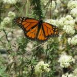 Monarch on buckwheat