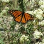 Monarch on buckwheat