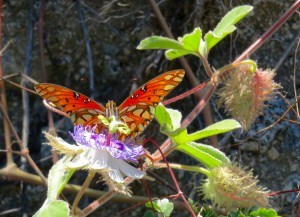 Gulf Fritillary on its host plant, passion vine