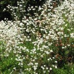 Various types of buckwheat can provide butterflies nectar spring through fall