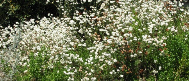 Favorite Natives: Buckwheat for Bees & Butterflies
