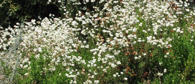 Favorite Natives: Buckwheat for Bees & Butterflies