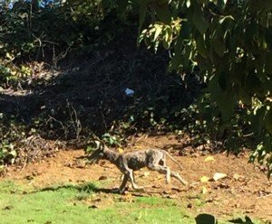 This coyote with mange likely has secondary poisoning from eating rodents