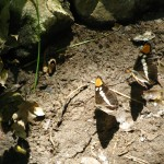 Puddling butterflies