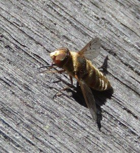 A bee fly, a native pollinator