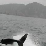 Juvenile orca in Resurrection Bay