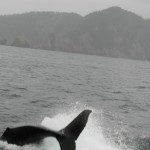 Juvenile orca in Resurrection Bay