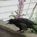 One of Seward's many crows