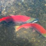Salmon couple about to spawn