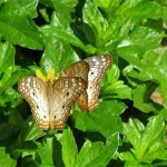 Baja butterflies
