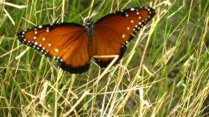 Queen butterfly's use of milkweed makes it distasteful like monarchs