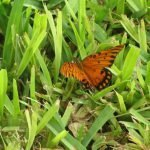 Gulf fritillary on the grass before laying eggs on the resort's passion fruit vine - important host plant