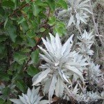 White Sage (and sugar bush) make a nice pair