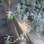 Bee's Bliss salvia, a favorite low-growing groundcover that spreads nicely, good in part-shade