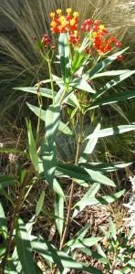 IMG_8614 milkweed