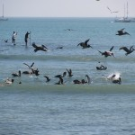 Pelicans galore while surfing