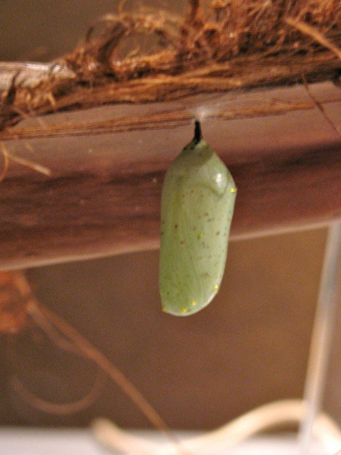 Older chrysalis - note difference from young one, such as the spots
