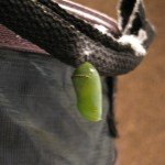 A young chrysalis that formed on Monika's garbage can