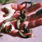 A handful of monarch chrysalis