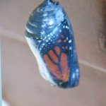 Chrysalis becoming clear before emerging (Monika Moore photo)