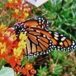 "Monarch on Monika's favorite milkweed (Asclepias Curassavia 'Red Butterflies"") - Monika Moore photo"