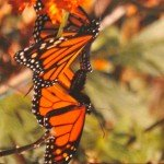 Mating monarchs, which mate for two hours. (Monika Moore photo)