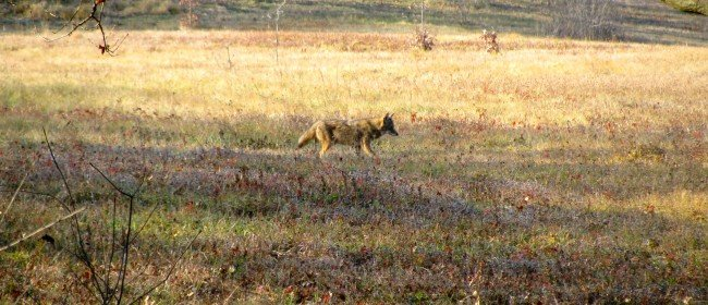 Positive News to End Predator Wildlife Killing Contests in California