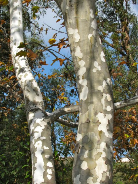 Favorite Natives Western Sycamore If Nature Could Talk