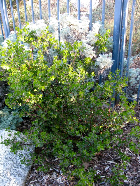 Sunset Manzanita has grown well in our west-facing yard