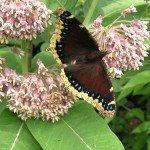 Mourning Cloak on Common Milkweed