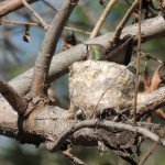 A female Anna's hummingbird on her nest in a branch 8 feet above the trail