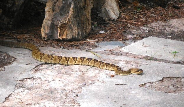 "A black-tailed rattlesnake that Gary found at their front door a couple of weeks ago ""and was regretfully disposed of."" However, he and his wife went to a remote area to picnic and after awhile a small rattler warned it was under her chair...""no harm to either party."""