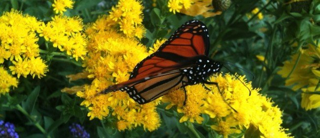 Butterflies: Plants to attract them, and concerns