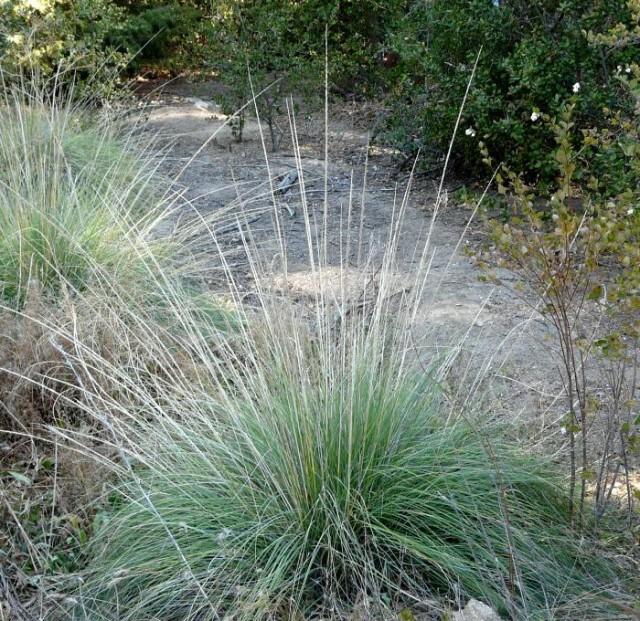 Consider deer grass instead of invasive pampas or fountain grass