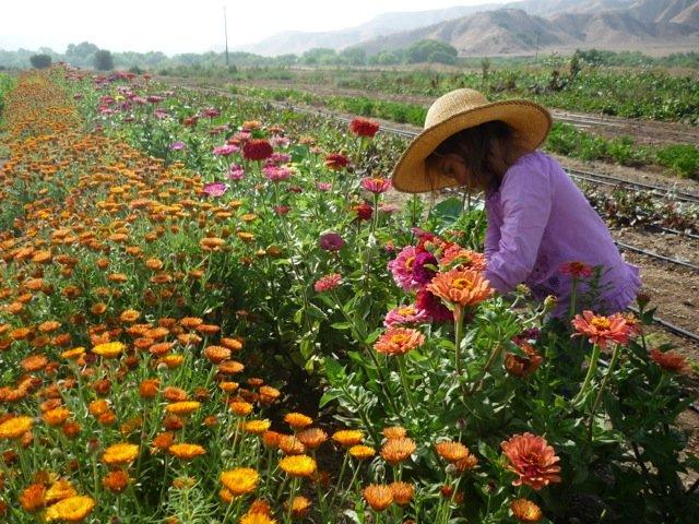 Harvesting on the Three Sisters Farm