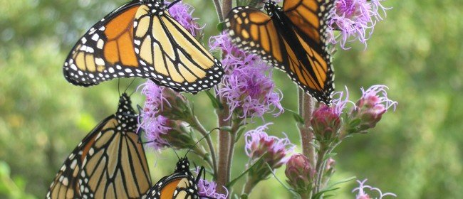 Go Organic — and plant milkweed — to Save Monarchs