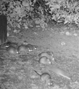 Rats on our property