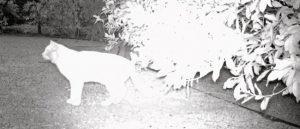 Cat caught on wildcam