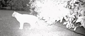 Cat caught on wildcam