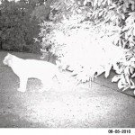 One of two cats on last night's wildcam shots