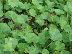 Cheeseweed, a type of mallow