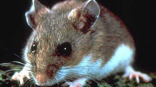 Hantavirus, Mice and Flashbacks to 1993