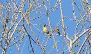 Lawrence's Goldfinch at San Timoteo