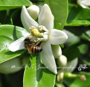 Bee on orange tree blossom