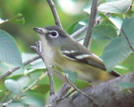 Solitary Vireo (Oklahoma City Audubon)